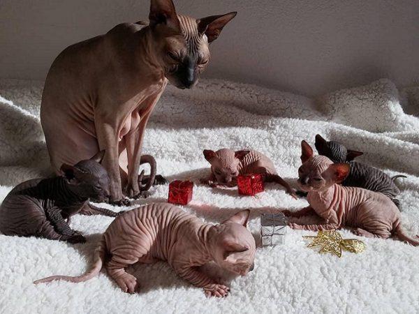 Mèo Sphynx ít gây dị ứng lông mèo như các giống mèo nhà khác.