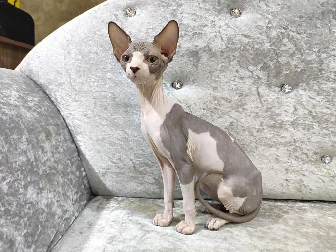 Mèo Sphyxn nhân sư con tại Dogily Petshop Ba Tháng Hai, phường 14, quận 10 Tphcm.