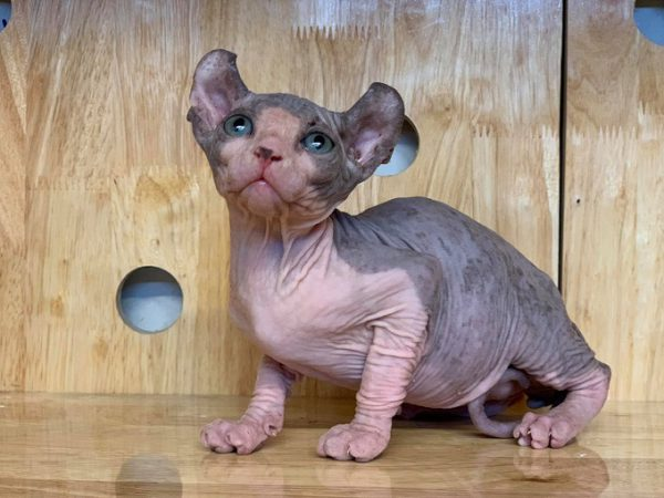 mèo Ai Cập không lông Sphynx