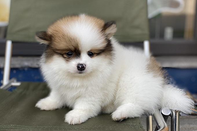 Chó Pomeranian màu Parti 2 tháng tuổi.