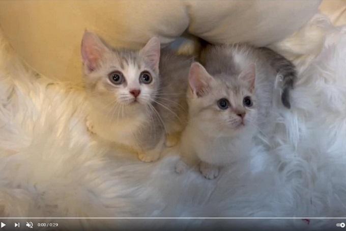 2 bé mèo Brittish Shorthair màu blue golen bố mẹ nhập khẩu châu Âu, đầy đủ giấy tờ Tica tại nhà Dogily.