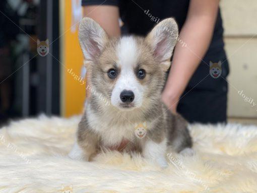 Bán chó Corgi Pembroke con thuần chủng màu vàng trắng - Dogily Petshop HCM, Hà