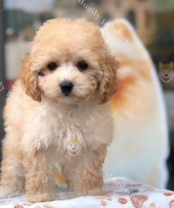 Bán chó Poodle con thuần chủng - màu vàng mơ - Dogily Petshop Hà Nội, Tp.HCM