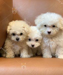 Bán đàn chó Poodle con thuần chủng - màu trắng - Dogily Petshop