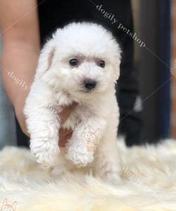 Bán chó Poodle con thuần chủng tại Dogily Petshop
