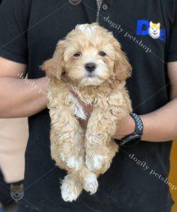 Mua bán chó Poodle vàng mơ con thuần chủng tại Dogily Petshop Hà Nội, Tp.HCM