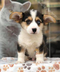 Bán chó Corgi pembroke thuần chủng - Tricolor-Dogily Petshop