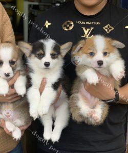 Bán đàn chó Corgi thuần chủng tại dogily Petshop