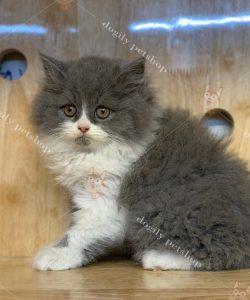 mèo anh lông dài - dogily petshop