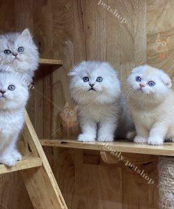 đàn mèo tai cụp con thuần chủng