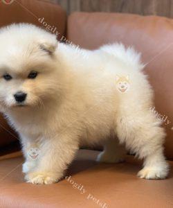 Mua bán chó Alaska con thuần chủng tại Dogily Petshop HCM, Hà Nội