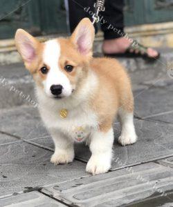 Mua bán chó mèo cảnh con thuần chủng, giá tốt nhất tại Dogily petshop Hà Nội, Tp.HCM