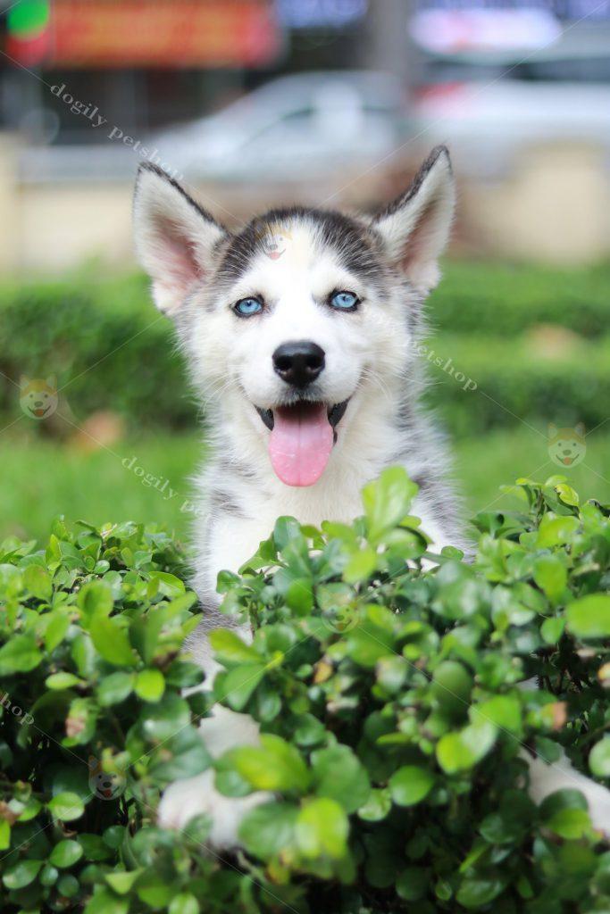 Mua bán chó Husky thuần chủng tại hệ thống Dogily Petshop Tphcm, Hà Nội.