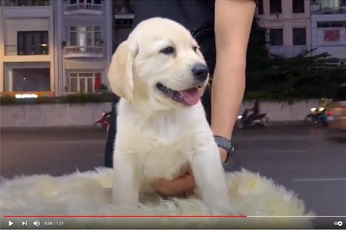 Chó Labrador con màu vàng kim 2 tháng tuổi đang bán tại Dogily Petshop Nghi Tàm (quận Tây Hồ, Hà Nội).