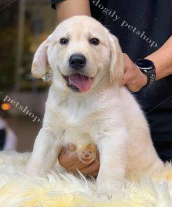 mua bán chó Lab con thuần chungrbtaij Dogily Petshop