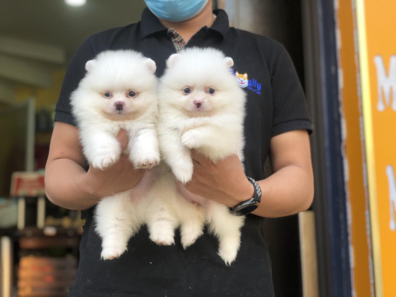 Đôi chó phốc sóc màu trắng 2 tháng tuổi tại Dogily Petshop Nghi Tàm (Tây Hồ, Hà Nội)..
