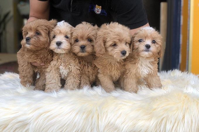 Bán đàn chó Poodle giá rẻ màu vàng mơ sinh sản tại Trang trại chó cảnh Dogily Kennel trực thuộc Hiệp hội Vka.