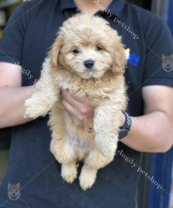 Mua bán chó Poodle con thuần chủng màu vàng mơ tại Dogily Petshop