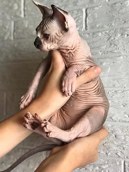 Bạn cần chuẩn bị kỹ lưỡng trước khi mua mèo Sphynx về nuôi.
