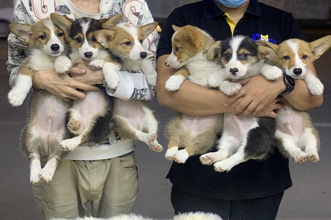 Đàn chó Corgi con 2 tháng tuổi sinh sản tại Trang trại Dogily Kennel thuộc Hiệp hội VKA.