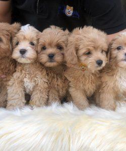 Mua bán đàn chó Poodle con thuần chủng tại Dogily Petshop Hà Nội, Tp.HCM
