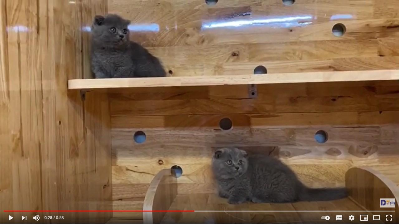 Cặp mèo chân ngắn màu xám xanh tai cụp tại Dogily Petshop Nghi Tàm (Tây Hồ, Hà Nội).
