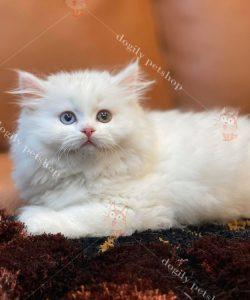Mua bán mèo ALd con thuần chủng tại Dogily Petshop