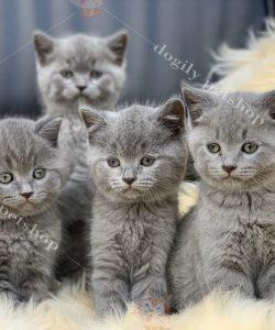 Mua bán đàn mèo ALN tại Dogily Petshop