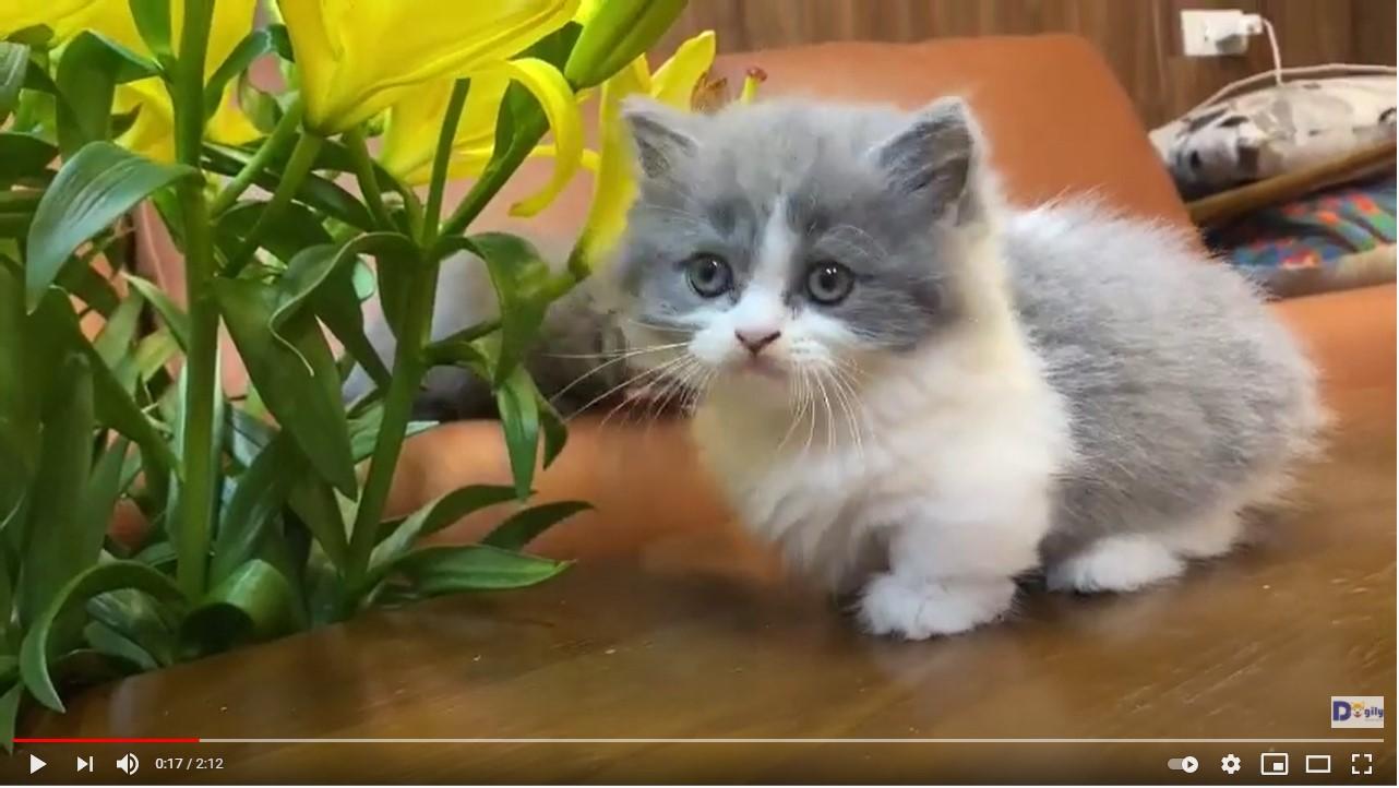 Hai bé mèo Anh chân ngắn lông dài màu bicolor, xám xanh 1,5 tháng tuổi tại Dogily Petshop Nghi Tàm (Tây Hồ, Hà Nội).