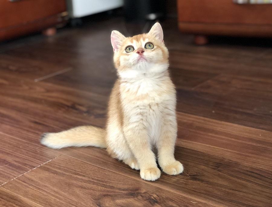 Mua mèo aln golden đẹp liện hệ hotline 0869118611