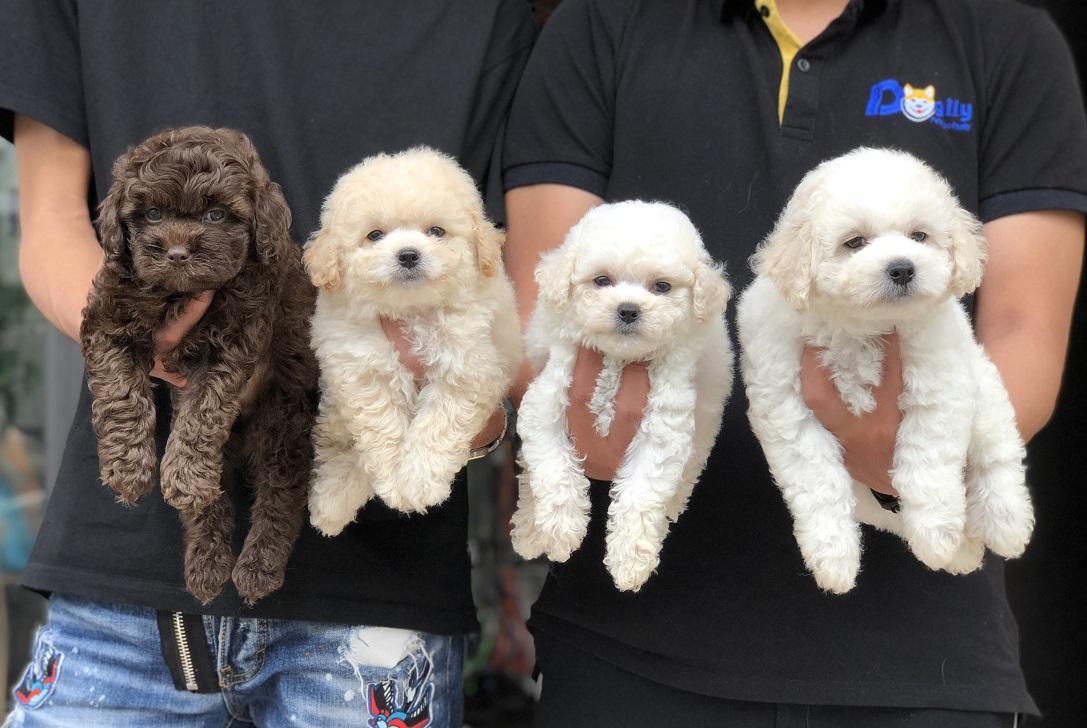 4 bé Poodle đực 2 tháng tuổi - Mua chó Poodle thuần chủng liên hệ 0869118611