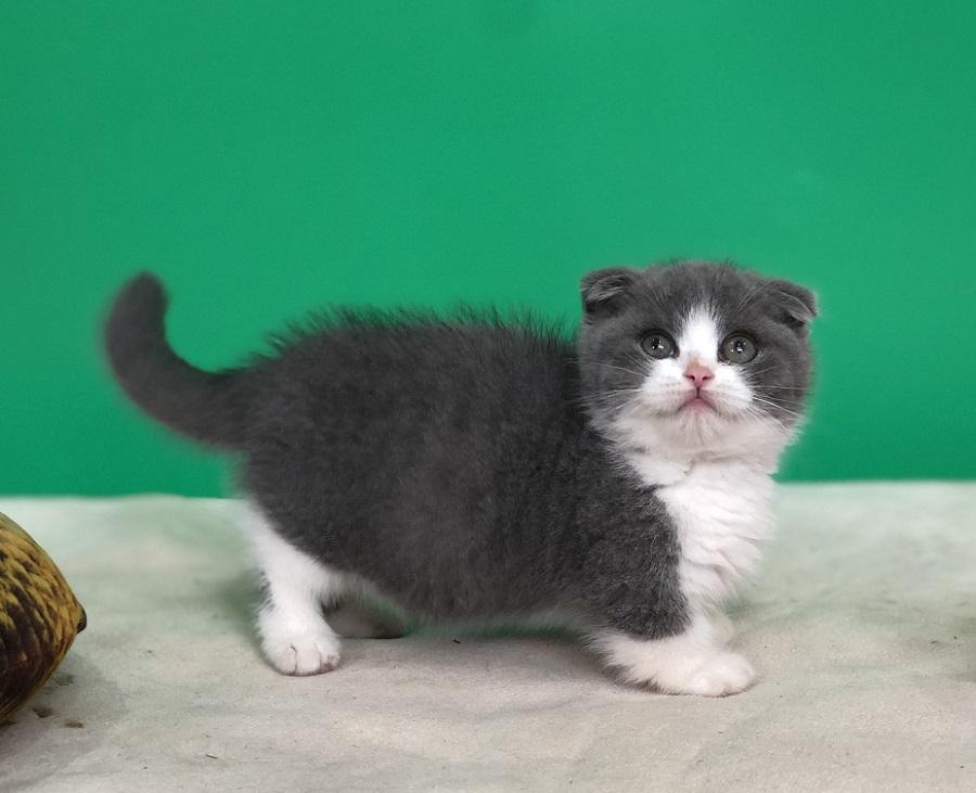 Mua mèo Munchkin chân ngắn màu Bicolor 2 tháng tuổi tại Dogily Petshop