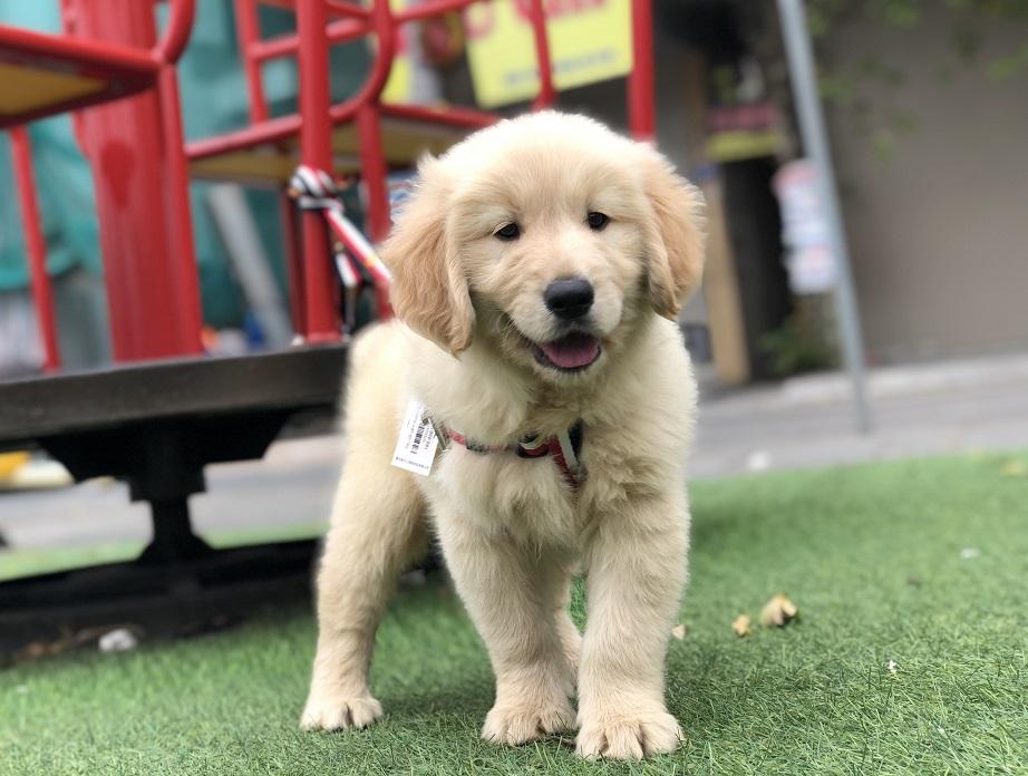 Hình ảnh video giới thiệu về chó Golden Retriever con đang bán tại Dogily Petshop