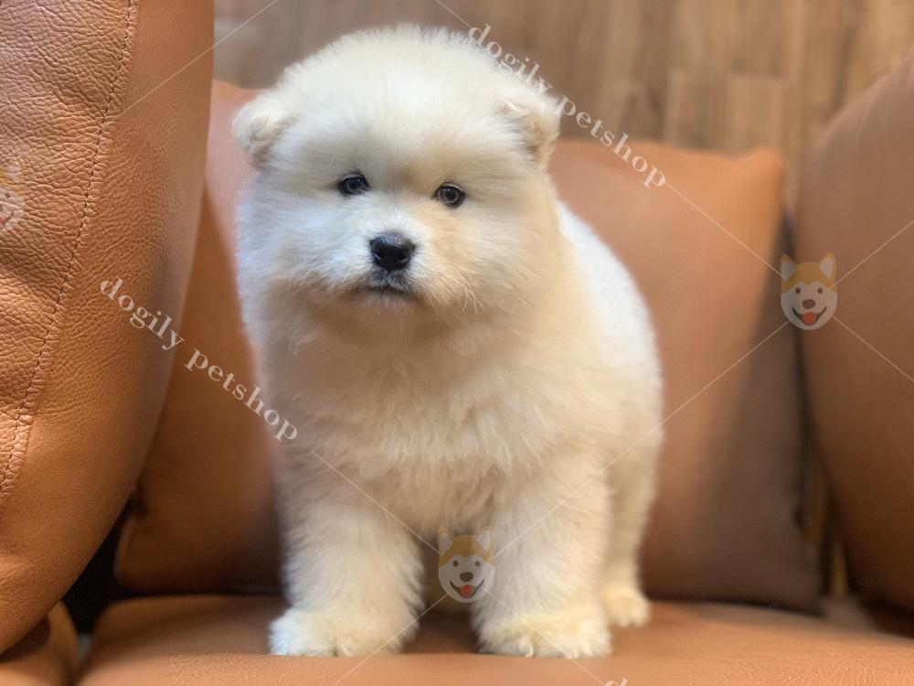 Dogily Petshop cung cấp chó Alaska con thuần chủng, chất lượng nhất Việt Nam
