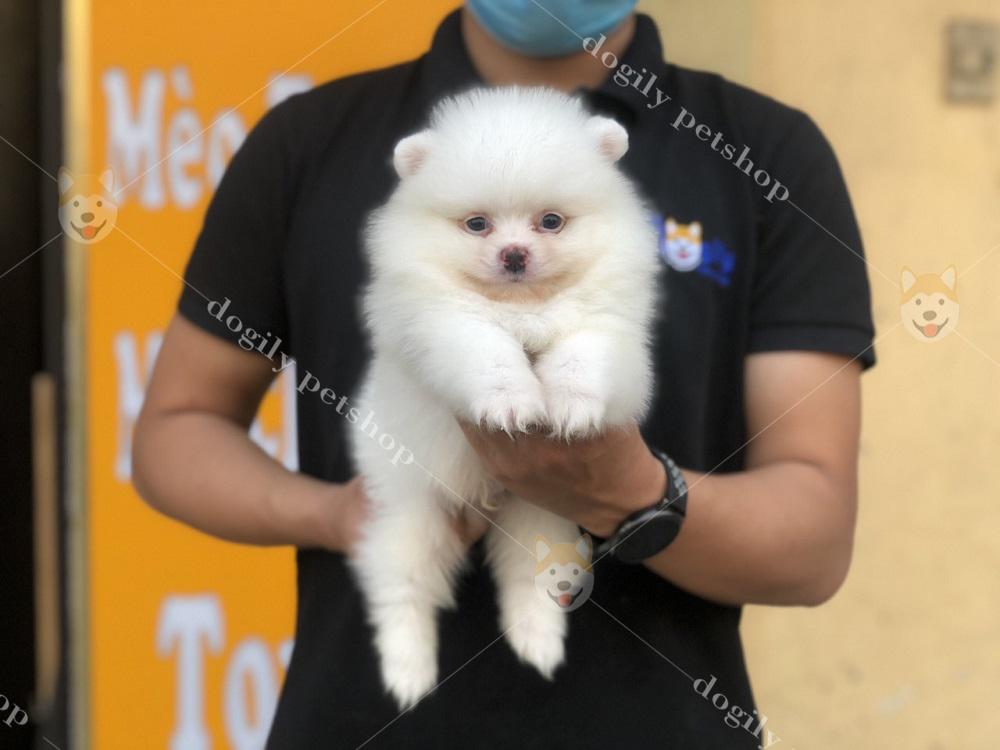 Mua bán chó Phốc sóc con thuần chủng, chất lượng, giá tốt tại Dogily Petshop.