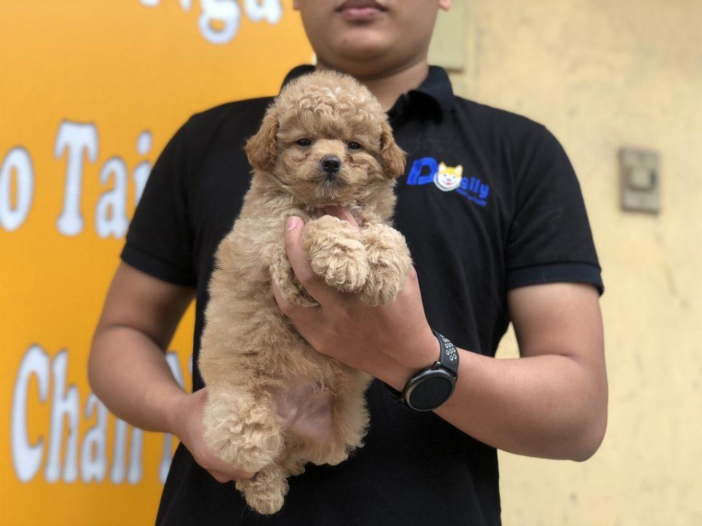 Hình ảnh cún Poodle con thuần chủng màu vàng mơ được hơn 2 tháng tuổi