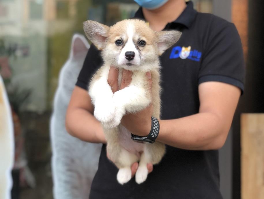 Chó Corgi Pembroke con thuần chủng hơn 2 tháng tuổi tại Dogily Petshop
