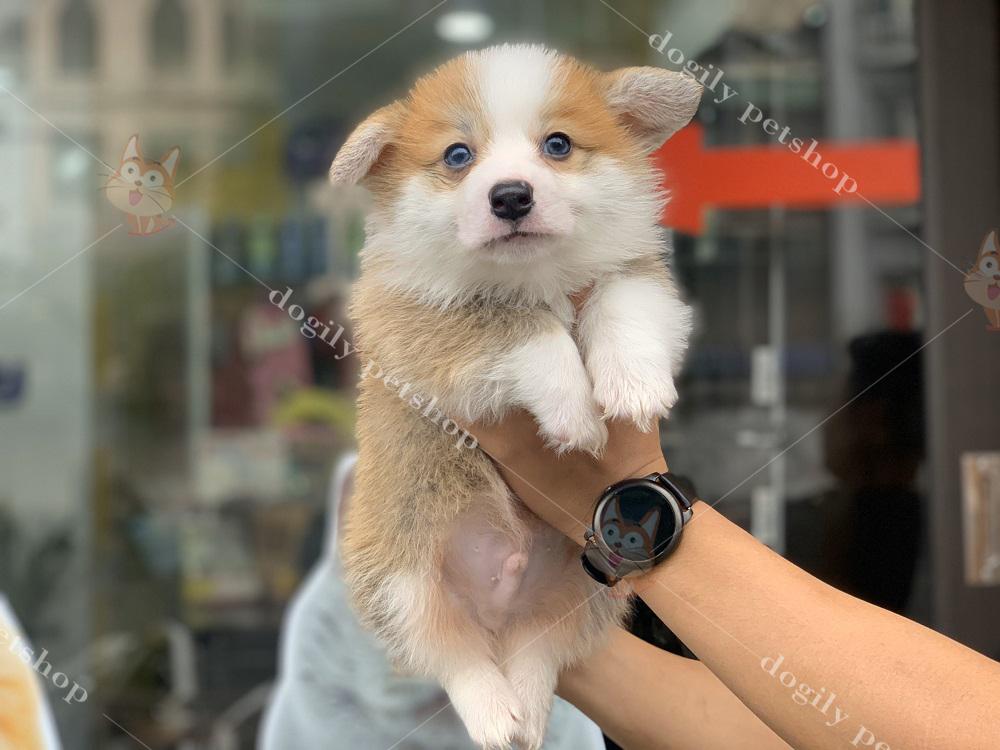 Khi mua chó Corgi tại hệ thống của chúng tôi, khách hàng sẽ được hỗ trợ nhiều chính sách, chế độ ưu đãi đặc biệt.