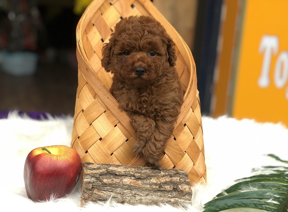 Cún Poodle con thuần chủng màu nâu đỏ hơn 2 tháng tuổi tại Dogily Petshop