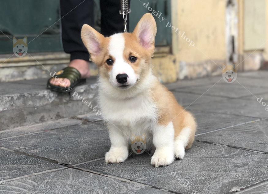 Mua bán chó Corgi con thuần chủng, chất lượng, giá tốt tại Dogily Petshop.