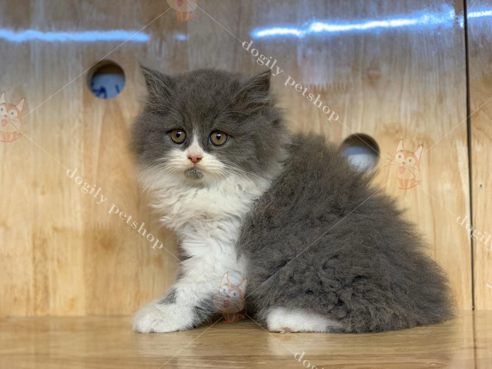 Mua bán mèo ALD tại Dogily Petshop Việt Nam