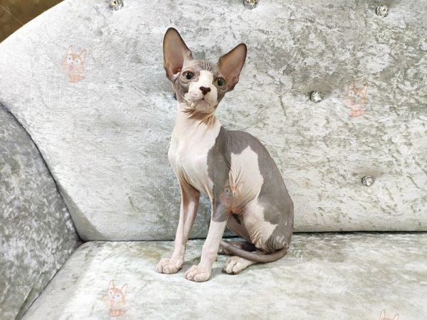 Dogily Petshop cung cấp mèo Sphynx con thuần chủng, chất lượng nhất Việt Nam