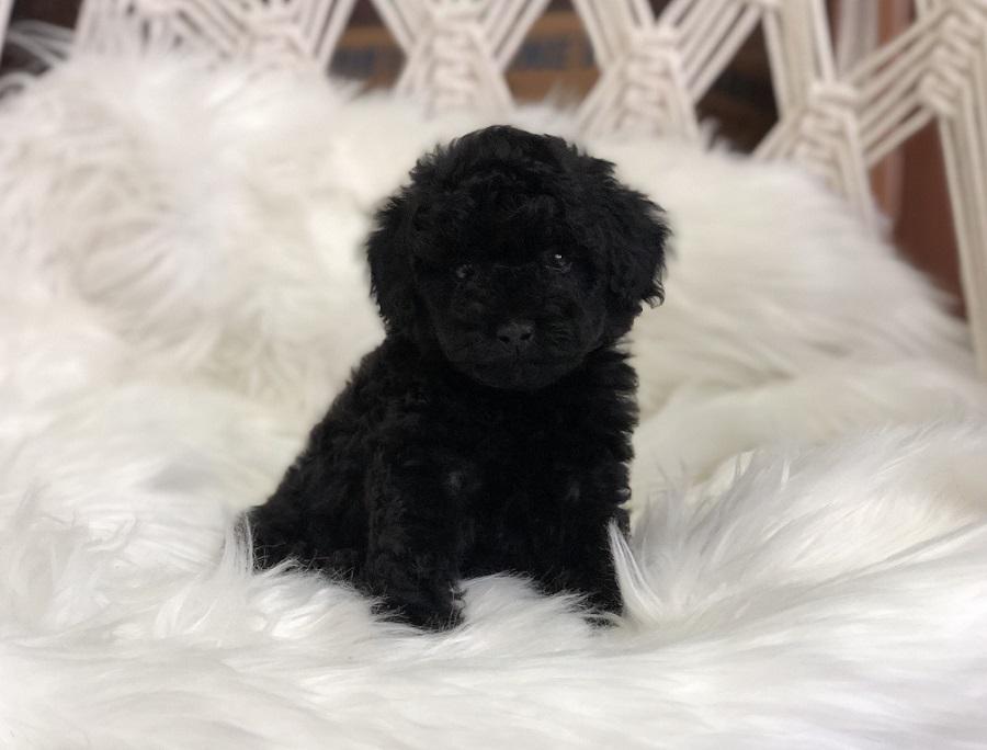 Hình ảnh chó Poodle con thuần chủng, giá tốt tại Dogily Petshop Hà Nội, Tp.HCM