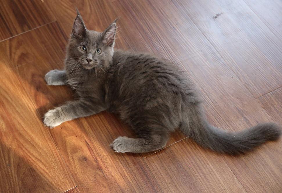 Mèo Maine Coon con thuần chủng màu xám có tại nhà Dogily petshop
