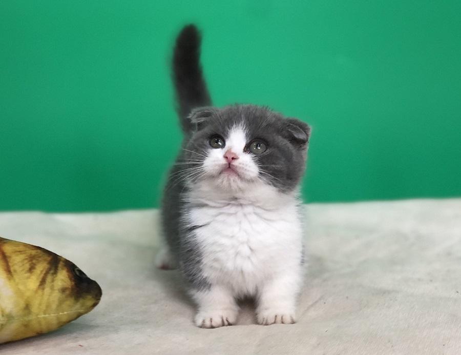 Mèo Munchkin, tai cụp con thuần chủng màu Bicolor