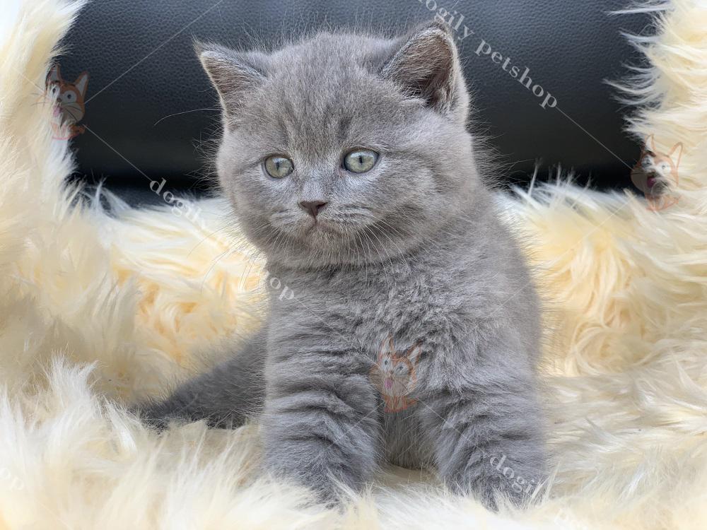 Mua bán mèo Aln con thuần chủng, chất lượng, giá tốt tại Dogily Petshop