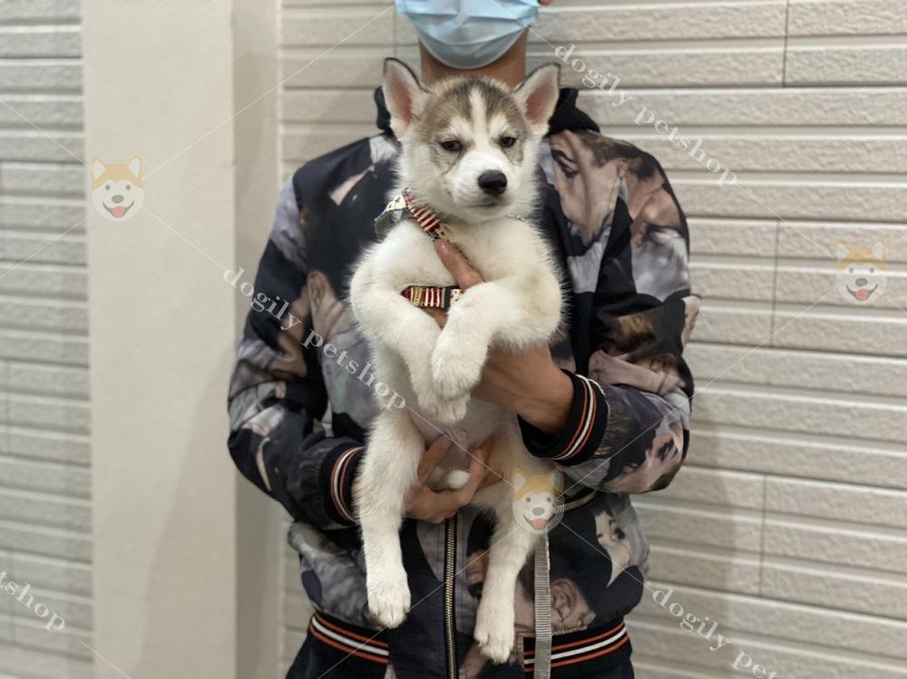 Dogily Petshop cung cấp chó Husky Sibir con thuần chủng, chất lượng nhất Việt Nam