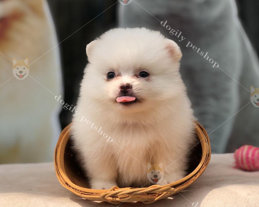 Bắp - chú cún Phốc sóc con thuần chủng màu trắng hơn 2 tháng tuổi