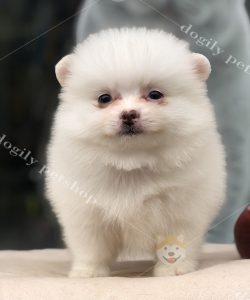 Chó Phốc sóc con thuần chủng màu trắng