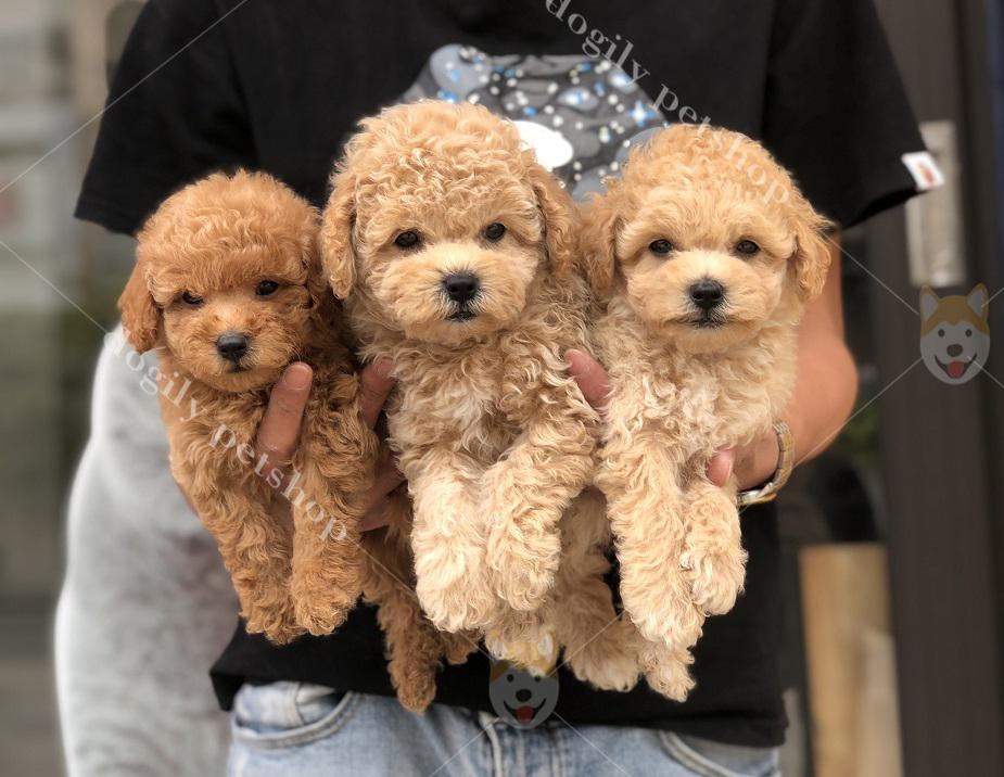 Bộ 3 chú chó Poodle con thuần chủng hơn 2 tháng tuổi có tại Dogily Petshop
